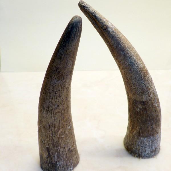 Hornspitzen ca. 12-15 cm