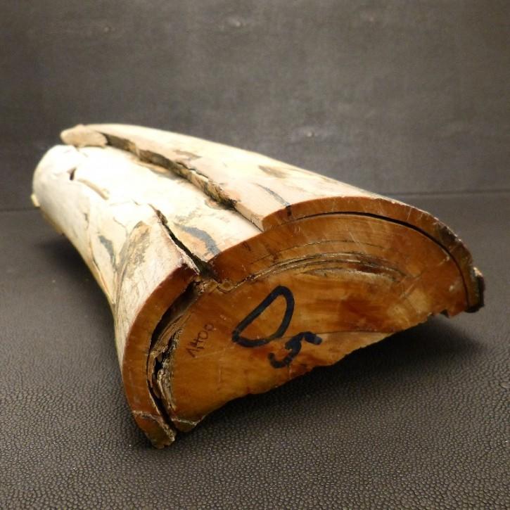 Mammut-Abschnitt mit schöner Braunfärbung