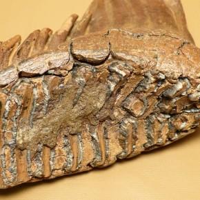 Mammut-Backenzahn mit schönen Wurzeln