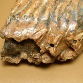 Mammut-Backenzahn mit breiter Kaufläche