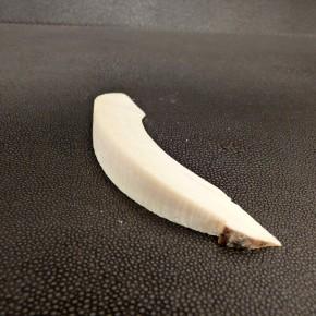 Bogenabschnitt Mammut-Elfenbein