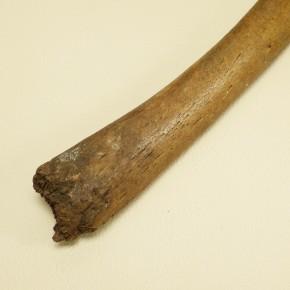 Penisknochen eines Walrosses