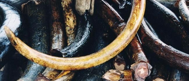 Mammut-Stoßzähne1