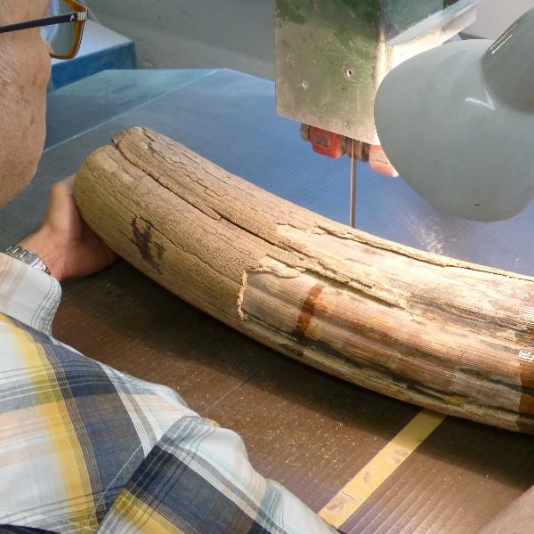 Zuschnitt eines Mammut-Zahns