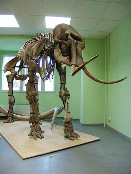 Mammut-Skelette1
