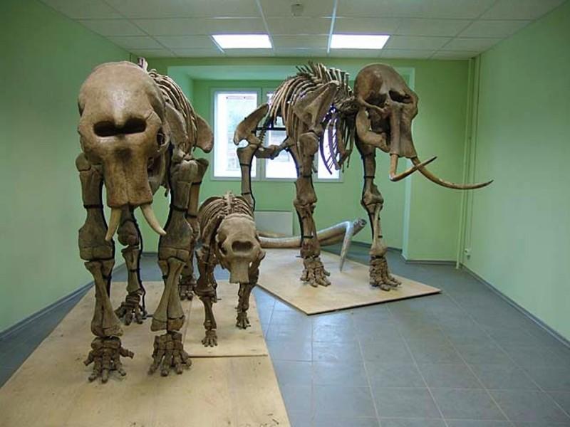 Mammut-Skelette2