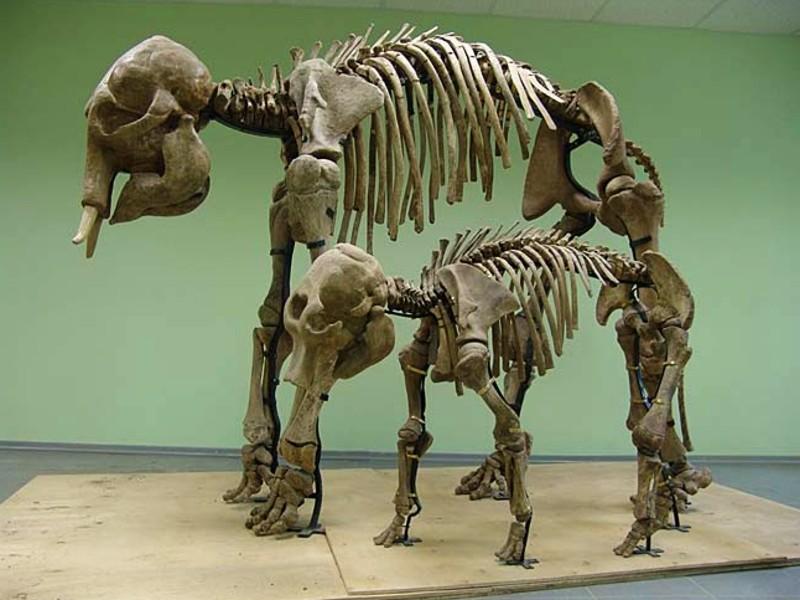 Mammut-Skelette3